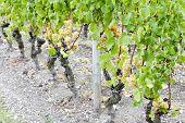Постер, плакат: Белый виноград в виноградник Сотерн региона Аквитания Франция