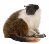 Pied tamarin, Saguinus bicolor, 4 years old, in front of white background poster