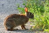 stock photo of peter cottontail  - Cottontail Rabbit Sylvilagus feeding in  early morning light - JPG