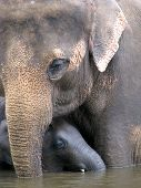 pic of baby animal  - Mother asian elephant with a baby face to face - JPG