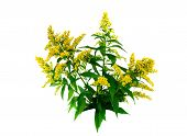 pic of goldenrod  - Goldenrod with blossoms  - JPG