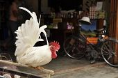 stock photo of banty  - Bantam is very tame - JPG