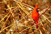 foto of cardinal-bird  - a northern cardinal in a thicket of bushes - JPG
