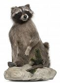 Stuffed North American raccoon also known as the common raccoon, in front of white background poster