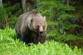 stock photo of radium  - grizzly bear just outside of radium hot springs, BC