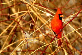 image of cardinal-bird  - a northern cardinal in a thicket of bushes - JPG