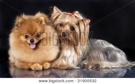 spitz dog  and terrier yorkshire