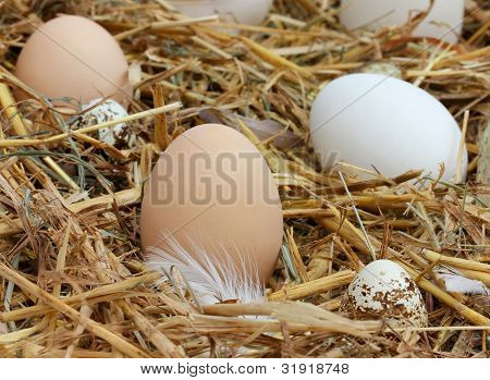 The Eggs In The Hay