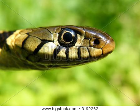 Grass Snake Head Shot