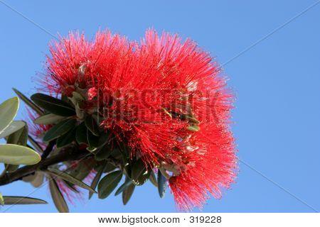 Pohutuakawa Flower