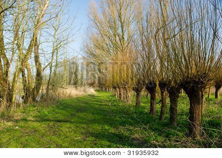 Dutch pollard willows in Biesbosch