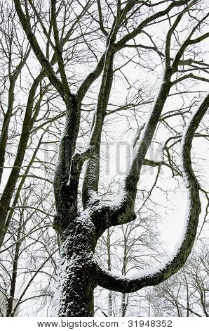Snow Covered Mapple Tree Trunk In Winter