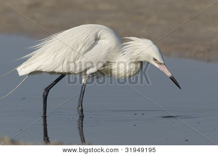 Reddish Egret White Morph - Egretta rufescens