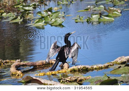 Anhinga Dries its Feathers, St Petersburg Florida