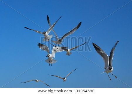 Seagulls (2), St Petersburg Florida