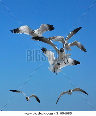 Florida Seagulls (1), St Petersburg Florida