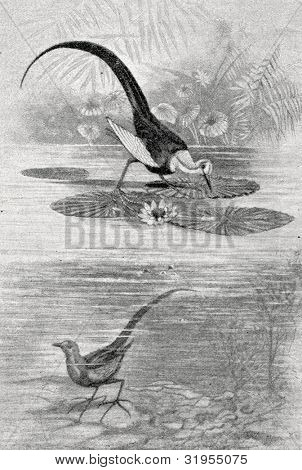 Chinese water pheasant. Engraving by Bird. Published in magazine