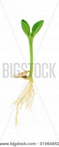 Pumpkin plant growing from seed isolated on white