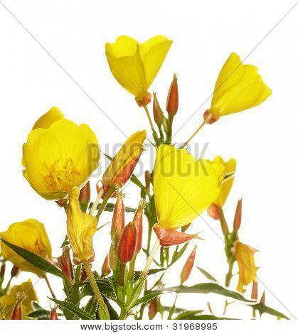 Oenothera glazioviana flower isolated on white