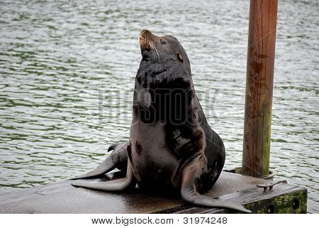 California Sea Lion at the Dock
