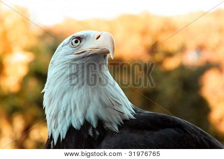 Female Bald Eagle