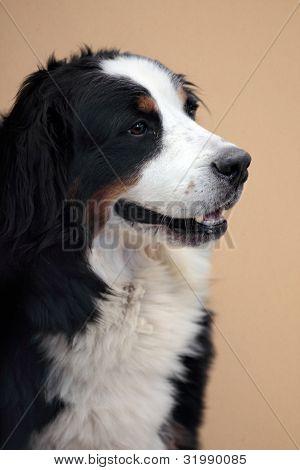Porträt der Berner Sennenhund