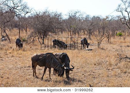 Group Of Wildebeest Grazing