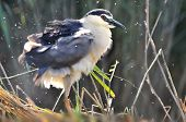 Black-crowned Night Heron (nycticorax Nycticorax), Or Black-capped Night Heron, Commonly Shortened T poster