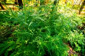 Ragweed Bushes. Ambrosia Artemisiifolia Causing Allergy Summer And Autumn. Ambrosia Is A Dangerous W poster
