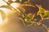 Sunrise In Nature Background. Dark Background Of Green Plant In Sunrise. Sunrise In Nature. Sun Rays poster