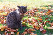 Gray European Shorthair Cat Outdoor On The Leaves In Autumn Garden. poster