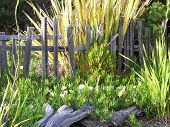 stock photo of driftwood fence  - Digital photo of northern California seaside garden - JPG