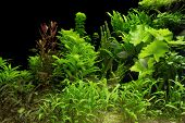 foto of hydrophytes  - underwater scenery including lots of aquatic plants and some fishes - JPG