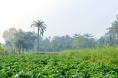 Green Fields And Trees In A Scenic Agricultural Landscape In Rural Bengal, North East India. A Typic poster