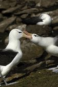 stock photo of albatross  - The most beautiful Albatross of the World - JPG