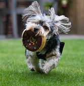 A Cute And Hairy Small Pet Dog Running And Playing With A Soft Toy Outdoors With Fur And Ears Flying poster