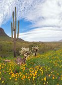 picture of ocotillo  - Blooming Sonoran Desert at Picacho Peak State Park - JPG