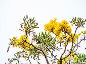 Golden Trumpet Tree At Park, Beautiful Tabebuia Chrysantha (golden Tree, Golden Trumpet Tree, Yellow poster
