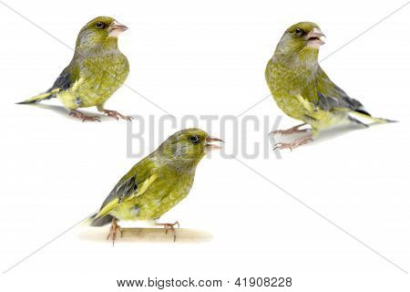 European Greenfinch on white