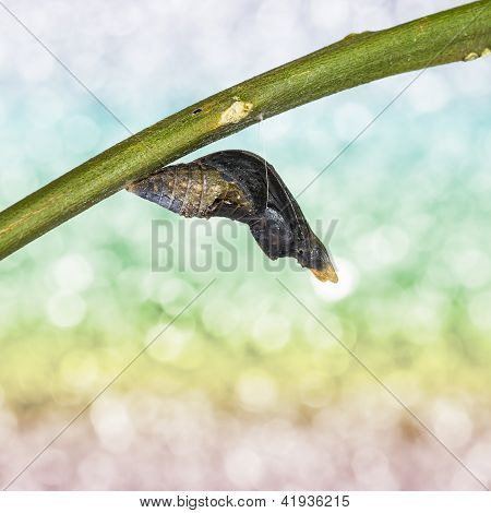 Pupa Of Common Mormon (papilio Polytes Romulus) Butterfly