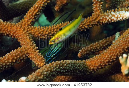 Grunt And Yellow Wrasse With Staghorn Coral