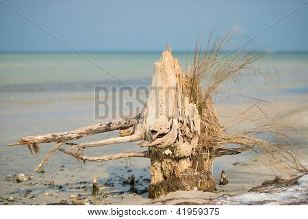 old dry tree on the beach