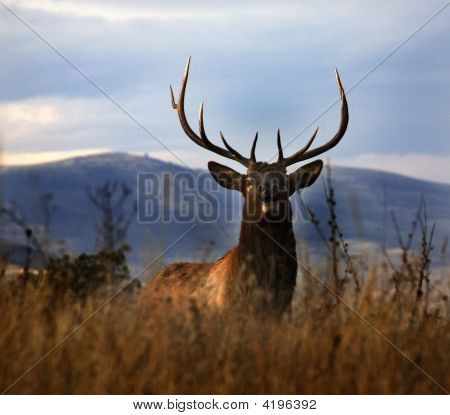 Large Male Elk With Large Rack National Bison Range Charlo Montana