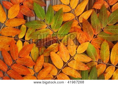 Yellow, Green And Red Leaves Mountan Ash On An Old Wooden Background