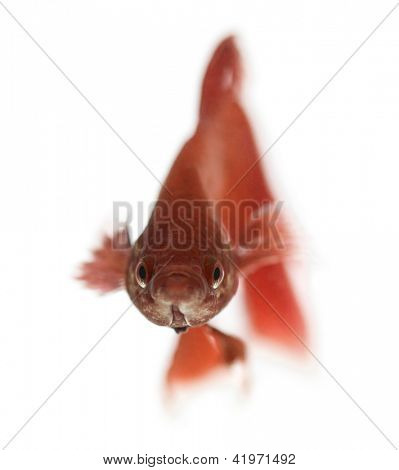 Siamese fighting fish, Betta splendens, against white background