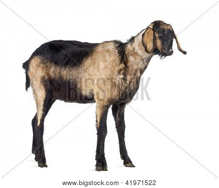 Anglo-Nubian goat with a distorted jaw, looking away against white background