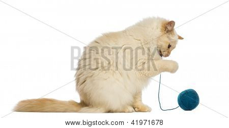 Birman sitting and playing with ball of wool against white background
