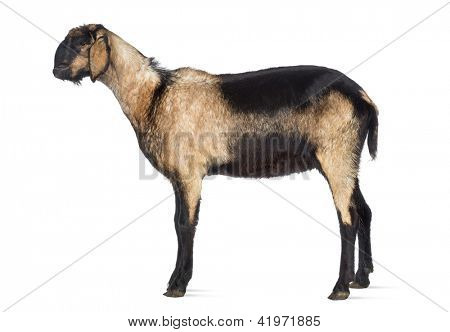 Side view of an Anglo-Nubian goat with a distorted jaw against white background