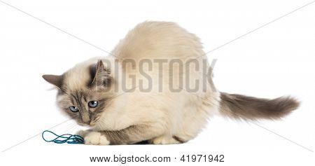 Birman playing with wool against white background
