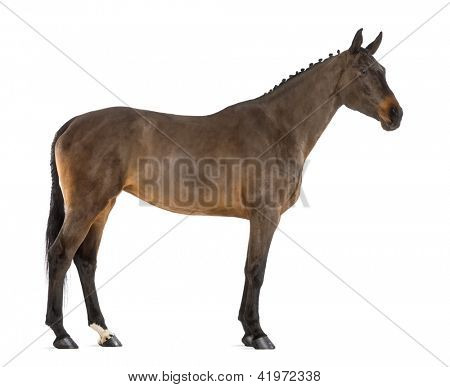 Side view of a Female Belgian Warmblood, BWP, 4 years old, with mane braided with buttons against white background